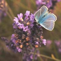 vanlig blå fjäril på lavendel foto