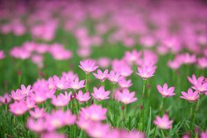 regn lilja blomma