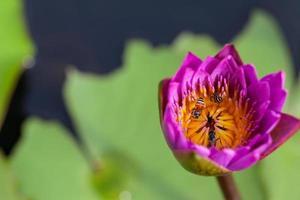 lotusblomma och bi