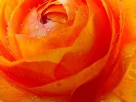 ranunculus accolade blomma foto