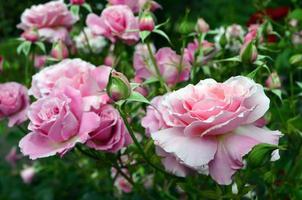 blommande rosa rosor foto