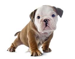 valp engelsk bulldog foto