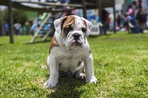 engelsk bulldog valp foto