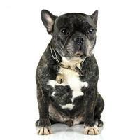fransk bulldog på vit bakgrund foto