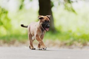 belgisk herdehund (malinois) foto