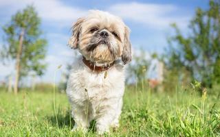 shih tzu hund trädgård porträtt