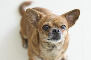 porträtt av liten hund foto