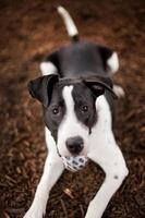 svartvit hund med boll i munnen
