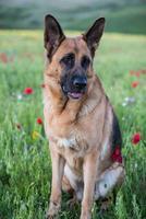 schäferhund på sommaräng med blommor foto
