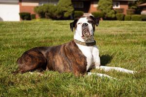 hund som lägger i gräset