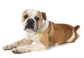 engelsk bulldogg foto