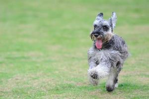 miniatyrschnauzerhund som kör på gräsmattan