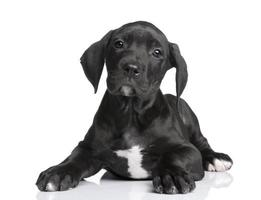great dane puppy (2 månader) foto