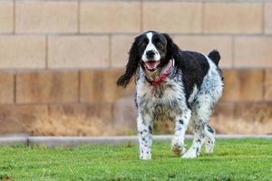 engelsk springer spaniel hund som leker i gården