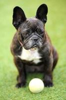 fransk bulldog foto
