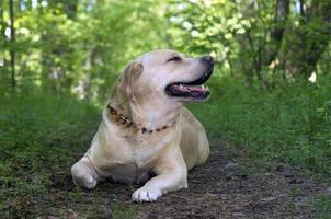 labrador retriever poserar. sommar- och gräsbakgrund foto
