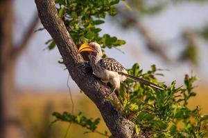 södra gulbenad hornbill i Botswana