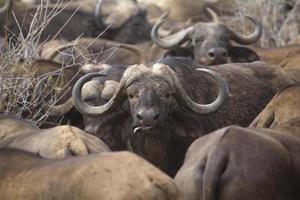 den afrikanska buffeln foto