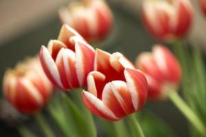 red tulp foto