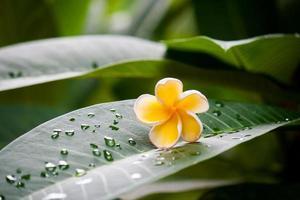 frangipani blommor 5 foto