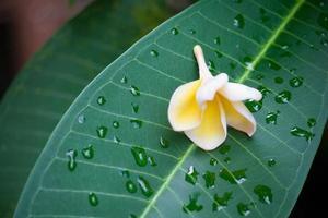 frangipani blommor 6 foto