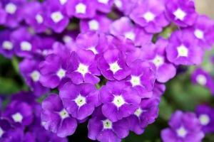 verbena lila foto