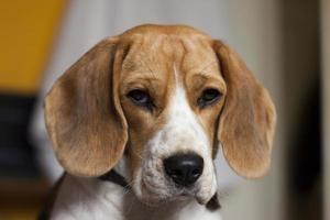 ledsen beagle foto