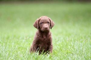 hund: retriever valp sitter utomhus
