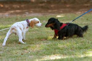 två söta hundar sniffar och kollar varandra foto