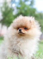pomeranian hund foto