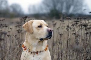 labrador retriever poserar. höst och blad bakgrund foto