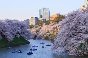 körsbärsblommor i tokyo, japan