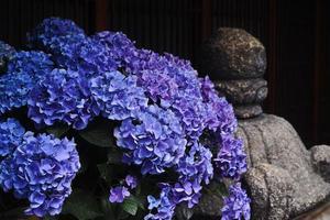 regnperioden blommor - hortensia foto