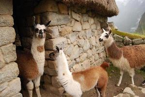 trio av lamaer i machu-pichu foto