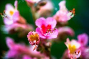 närbild av rosa blommor av hästkastanjträdet