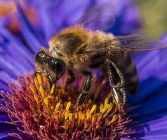 honungsbin på blomman