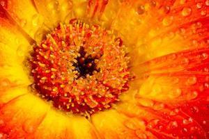 orange gul gerberablomning foto