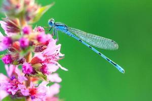 blå damselfly makro foto