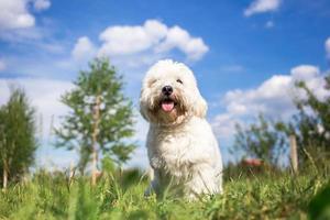 coton de tulear hundporträtt i trädgården foto