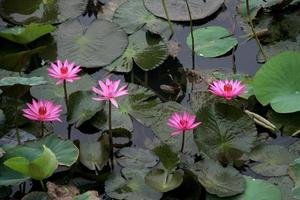 fem rosa liljor