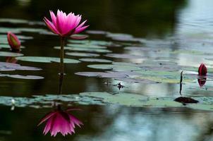 rosa lotusblommareflektion