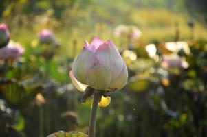 lotus på morgonen