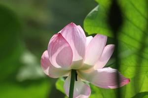 lotusblommor i Yokohama City Sankei Garden
