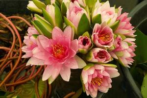 bukett av rosa lotusblomma.