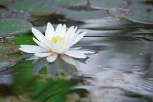 lilja ren vit