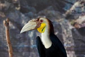 kransad hornbill, fågel foto