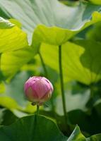 rosa lotusknopp
