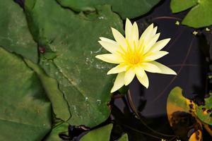 vacker gul lotus