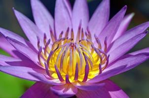 närbild lotus pollen