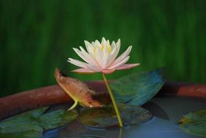 rosa gul lotus i en skida